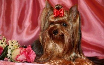 животные, роза, собака, йоркширский терьер