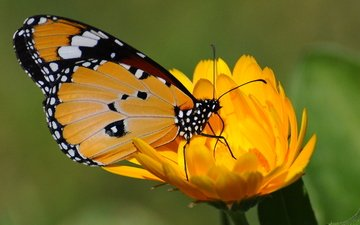 желтый, цветок, бабочка, зеленый фон