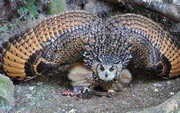 сова, крылья, филин