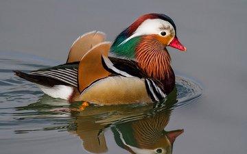 вода, отражение, круги, птица, утка, мандаринка