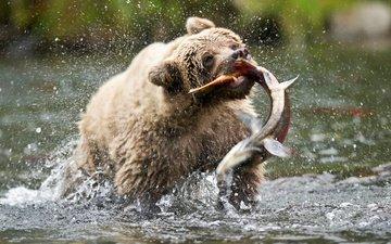 медведь, сша, аляска, бурый медведь, русская река