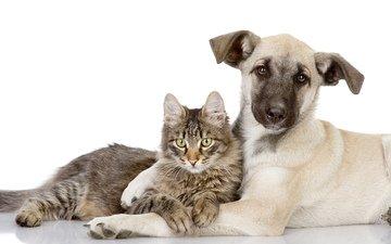 кот, кошка, собака, щенка, друзья, котёнка, embraces, вдвоем, влюбленная, cобака
