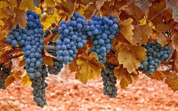 grapes, vine