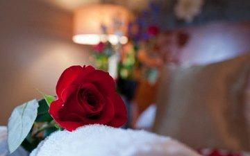 макро, роза, красная, комната