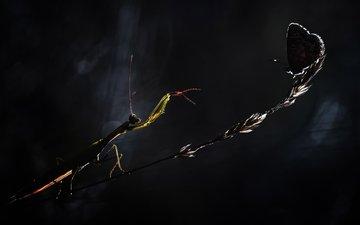 макро, бабочка, насекомые, богомол