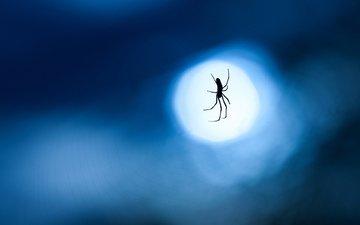 ночь, макро, фон, синий, луна, паук, паутина