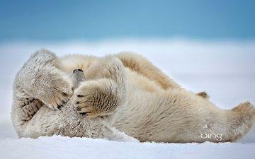 снег, сша, белый медведь, аляска, море бофорта, мыс барроу