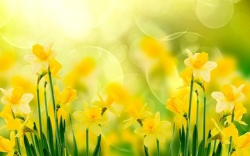 цветы, нарциссы, желтые