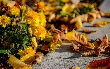 цветы, листья, осень, асфальт