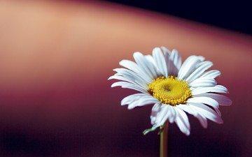фон, ромашка, цветочки, цветочек