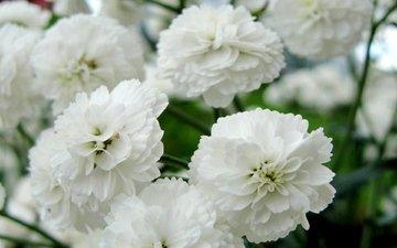 цветы, белые, нежные, гипсофила снежинка