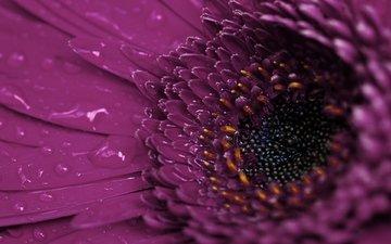 макро, цветок, роса, капли, гербера