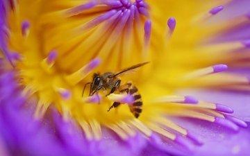 макро, насекомое, цветок, пчела