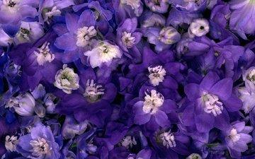 цветы, макро, синие, нежные, фиолетовые