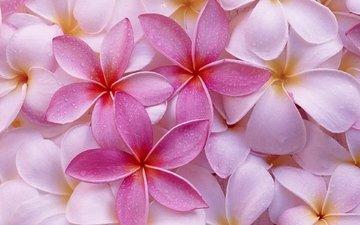 цветы, макро, розовая, плюмерия