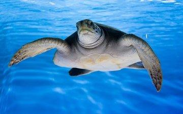 вода, природа, море, черепаха, океан