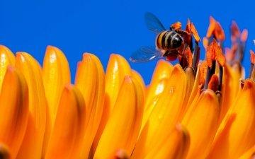 небо, макро, насекомое, цветок, лепестки, пчела