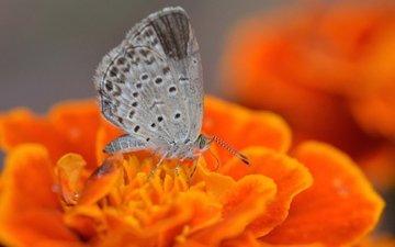 макро, насекомое, цветок, бабочка, мотылек