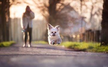 собака, несется, от, хозяйки