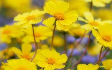 цветы, полевые, желтые, весенние