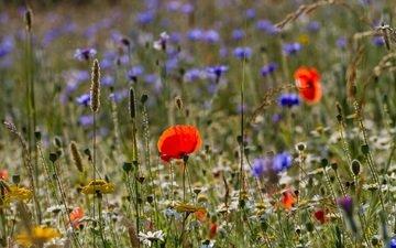 цветы, трава, макро, лето, ромашка, луг, мак, полевые, василек