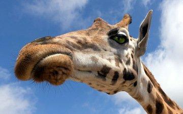 небо, природа, жираф