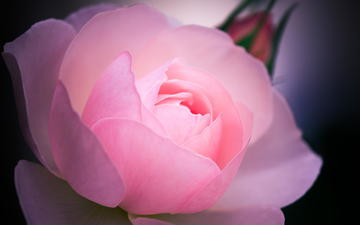цветок, роза, розовая, макро.
