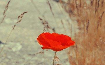 цветок, красный, мак