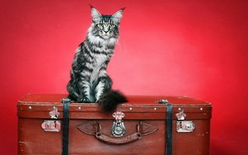 фон, кот, кошка, чемодан