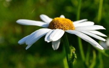природа, макро, цветок, лето, ромашка