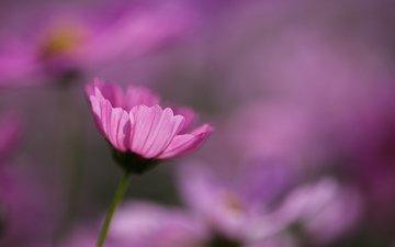 цветы, макро, розовые, космея