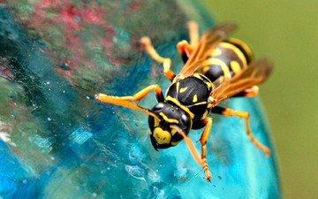 насекомое, фон, крылья, пчела, лапки, оса