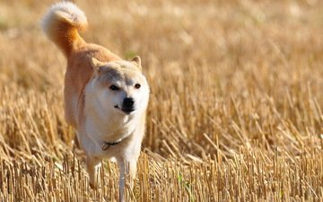 nature, field, dog, akita inu