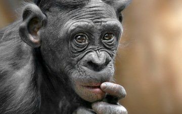 природа, обезьяна, примат, карликовый шимпанзе