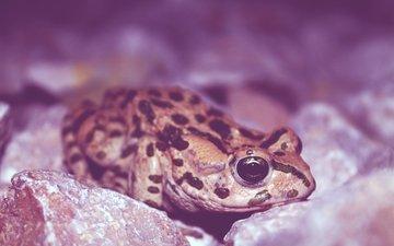 eyes, frog, amphibian