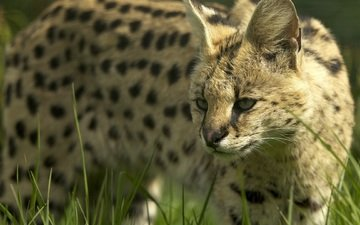 face, wild cat, serval, bush cat