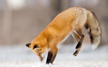 снег, зима, прыжок, лиса, охота