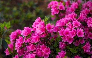 цветение, розовый, куст, азалия