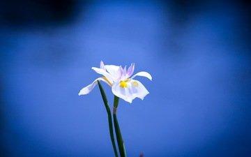 фон, синий, цветок, белый