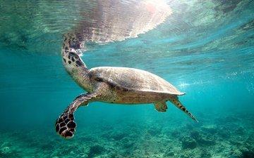 turtle, shell, underwater world