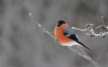 ветка, природа, птицы, снегирь