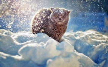 снег, зима, мордочка, кошка, британец