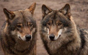 серые, пара, хищники, волки