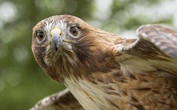 природа, орел, птицы, хищная