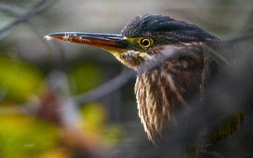 nature, birds, green, heron