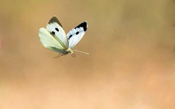 background, flight, butterfly, insects