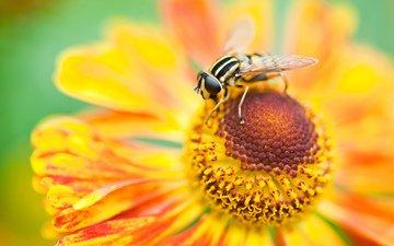 макро, цветок, лепестки, насекомые, пчела