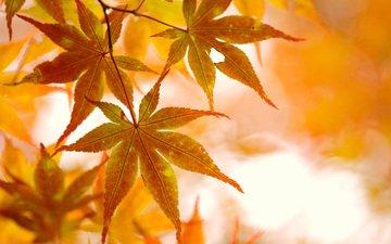 свет, ветка, природа, листья, осень, клен