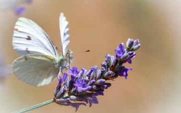 macro, flower, butterfly, insects