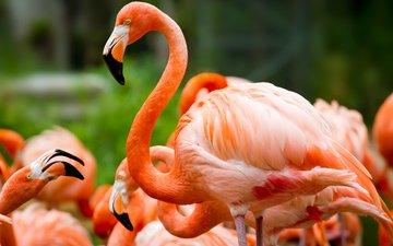 природа, фламинго, птицы, зеленый фон